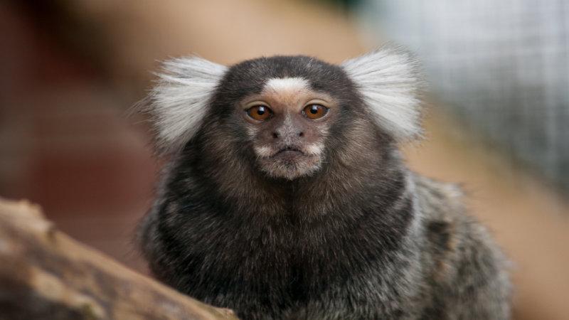 The common marmoset (Callithrix jacchus) consultation