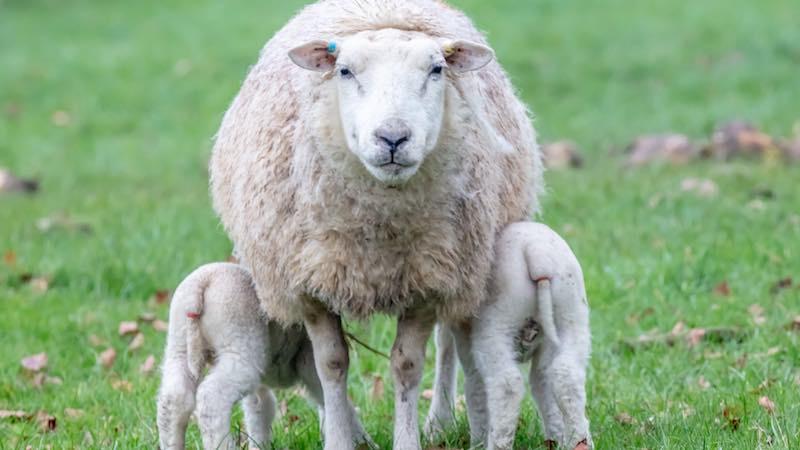The recumbent ewe