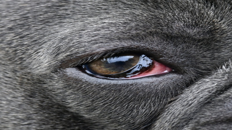 Ocular surface disease in dogs part 1: aetiopathogenesis and clinical signs