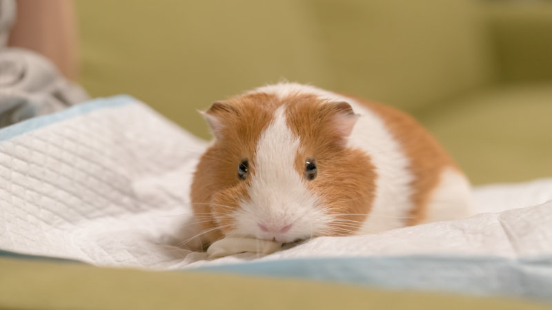 Veterinary care of guinea pigs. Part 3: urogenital, dermatological, endocrine and ophthalmic disease