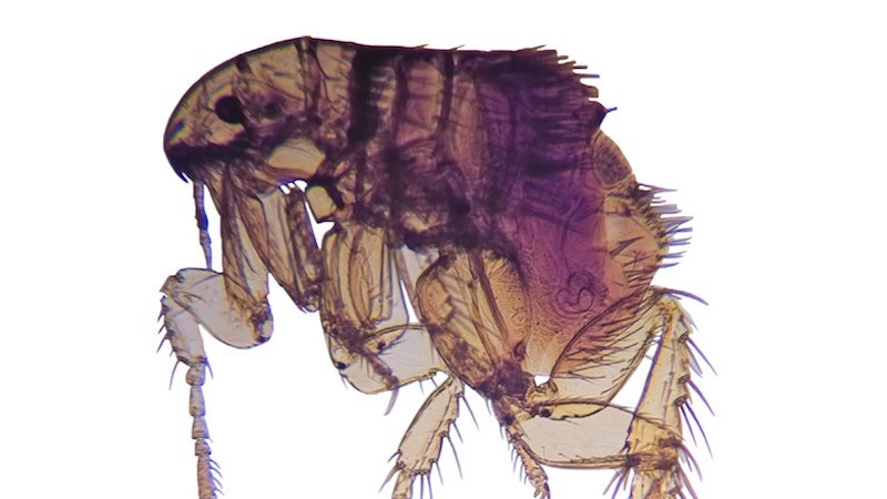 Flea infestation: a snapshot on the common products and the reasons for treatment failure
