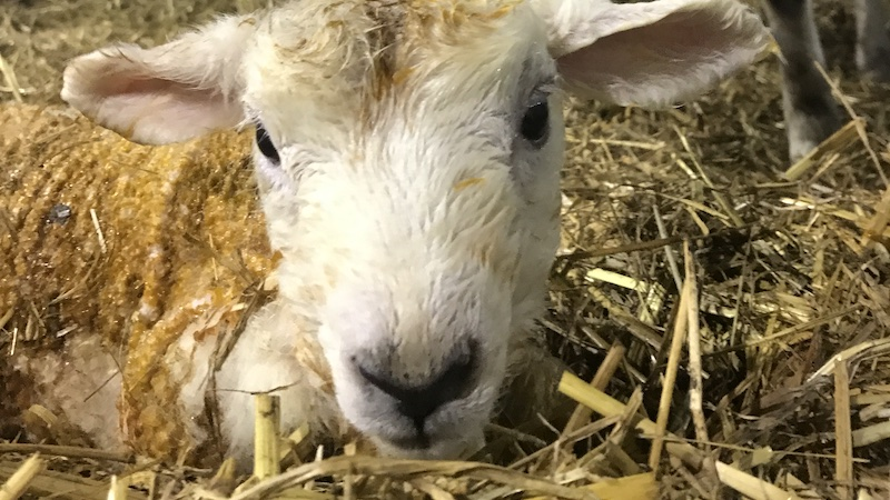 Enzootic abortion in sheep: a review