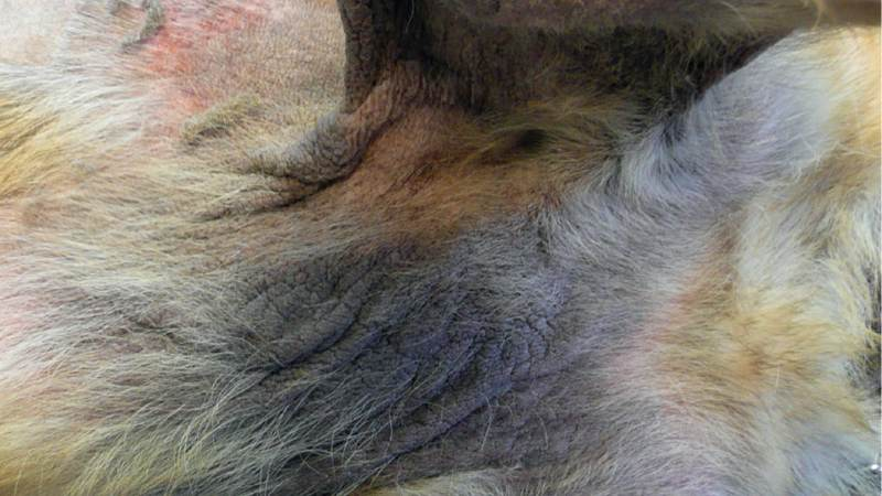 Foundation therapy in canine atopic dermatitis