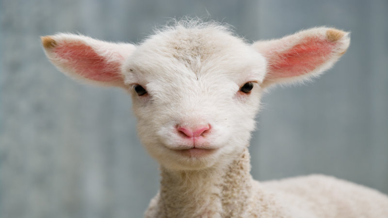 An approach to neonatal lamb post-mortem examinations