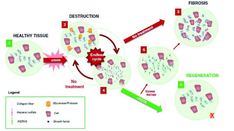 RGTAs and corneal healing