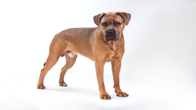 Patellar luxation in dogs